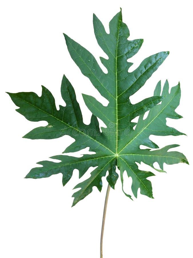 Świeży melonowa liść z deszcz kroplami odizolowywać na białym tle fotografia royalty free