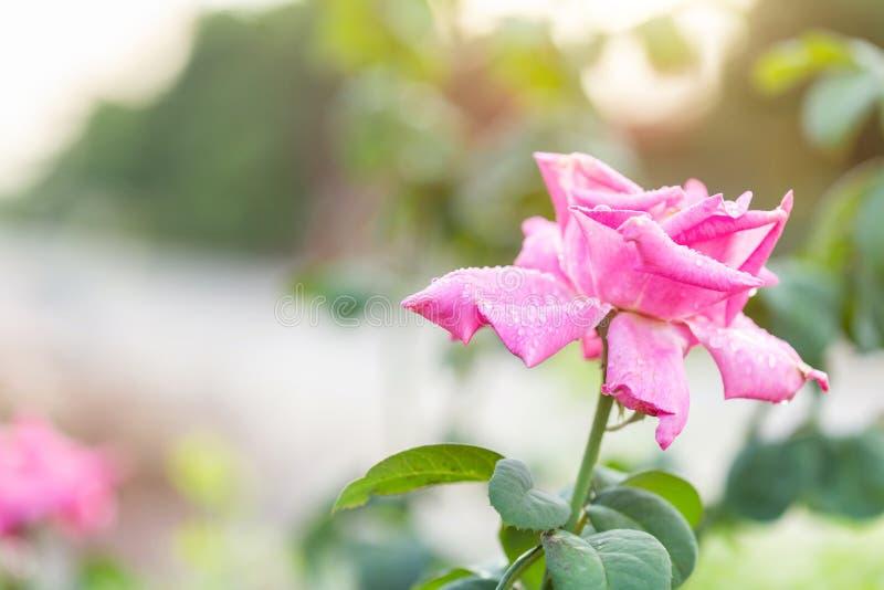 Świeży menchii róży kwiat na gałąź z wody kroplą w ogrodowym wystroju zdjęcia stock