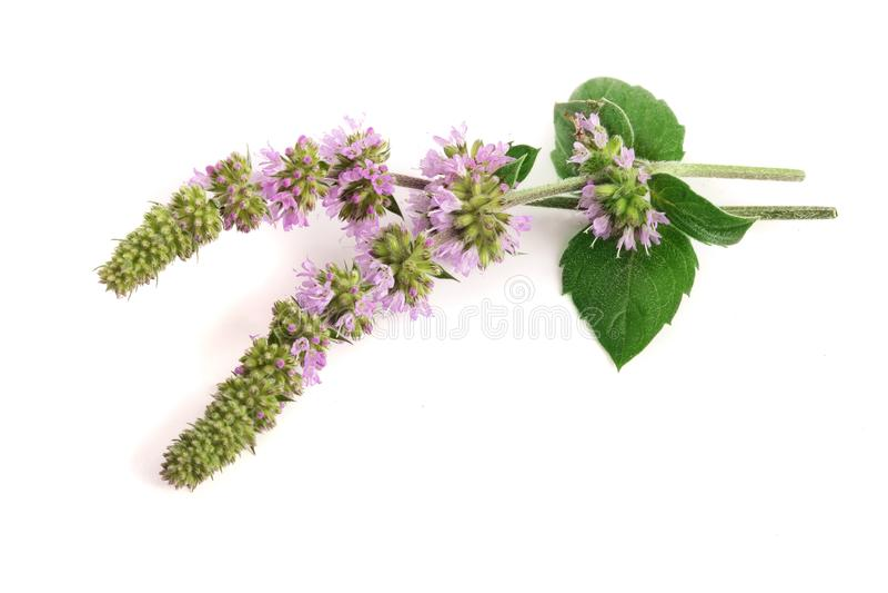 Świeży miętowy ziele z kwiatami na białym tle obraz stock