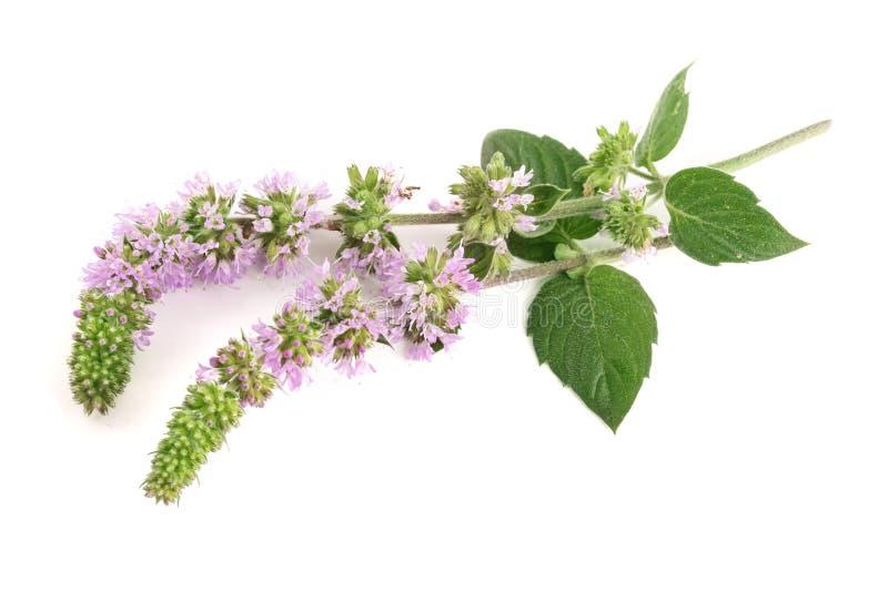 Świeży miętowy ziele z kwiatami odizolowywającymi na białym tle fotografia royalty free