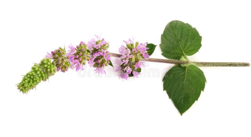 Świeży miętowy ziele z kwiatami odizolowywającymi na białym tle obrazy stock