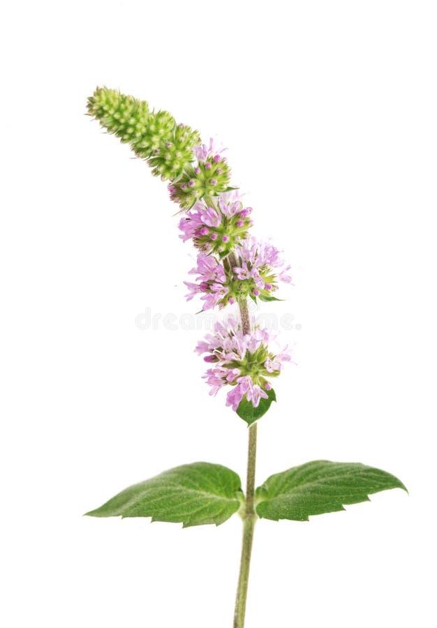 Świeży miętowy ziele z kwiatami odizolowywającymi na białym tle zdjęcia stock