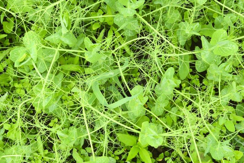 Świeży organicznie zielony groch strzela na ziemi, odgórny widok abstrakcyjny t?o kosmos kopii zdjęcie stock