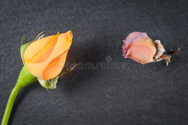 Świeży oskubany kwiat pomarańcze karzeł wzrastał menchia kwiatu na kamiennym tle i więdnął, w górę zdjęcia royalty free