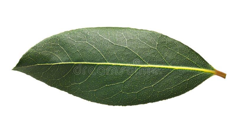 Świeży podpalanego bobka Laurus liść, ścieżki obrazy royalty free