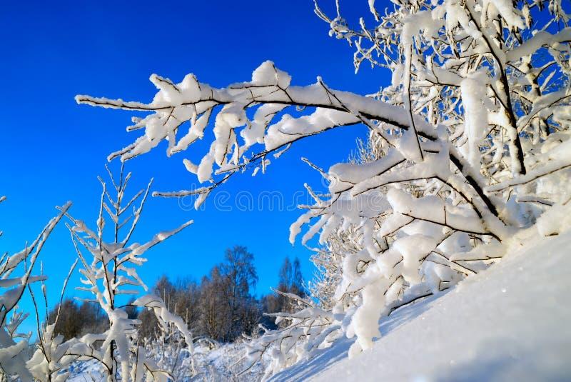 Świeży puszysty śnieg na gałąź Styczeń 33c krajobrazu Rosji zima ural temperatury zdjęcia stock