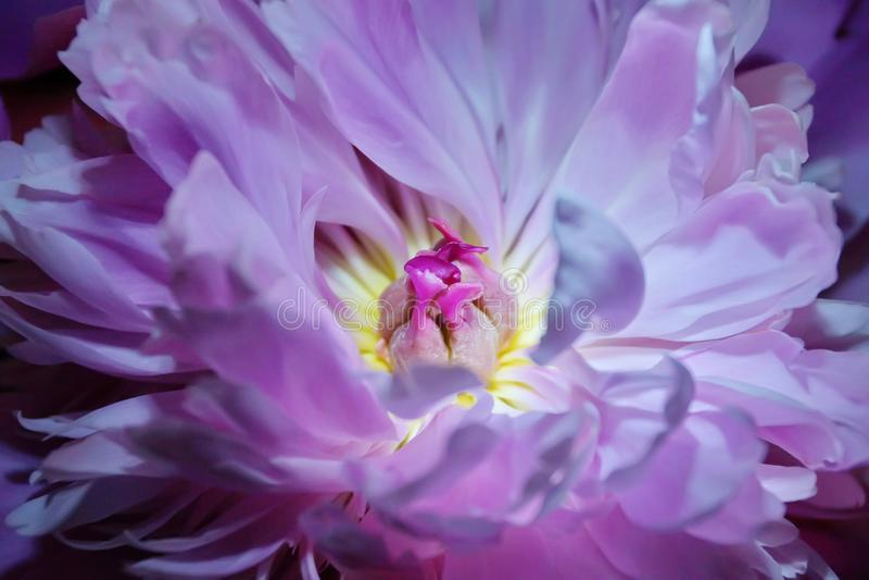 świeży różowy peoni zakończenie zdjęcie stock