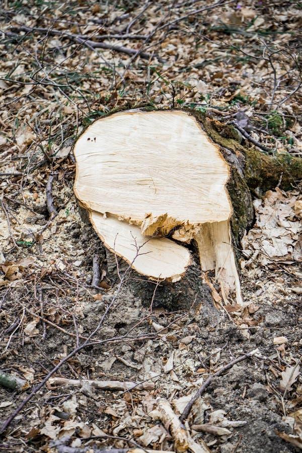 Świeży rżnięty fiszorek grabowy drzewo obrazy stock