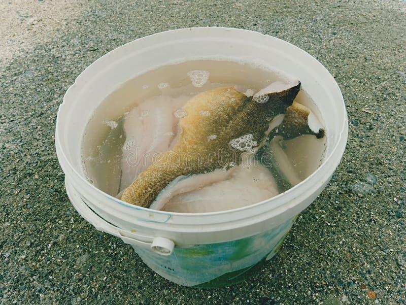 Świeży rybi przepasuje w wodzie Surowi dorszy rybi stki w wiadrze Przemysł spożywczy, mięsny przerób obraz stock