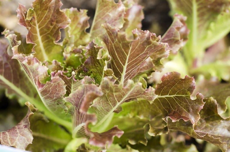Świeży Sałatkowego warzywa closedup zdjęcia royalty free