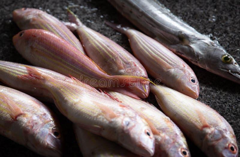 Świeży Złapany ryba fotograf, Barracuda i fotografia stock