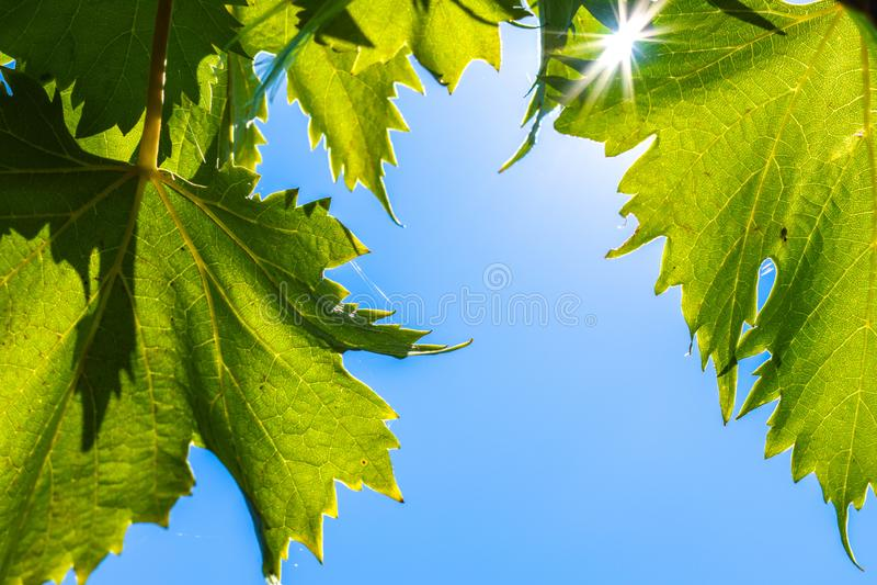 Świeży zieleń liści winogron winograd na niebieskiego nieba tle zdjęcie royalty free