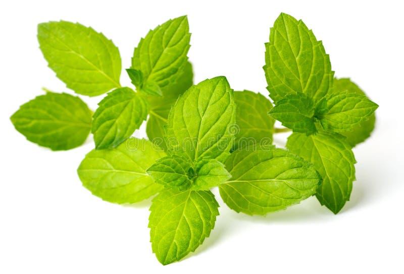 Świeży ziele, miętówka odizolowywająca na bielu zdjęcie stock