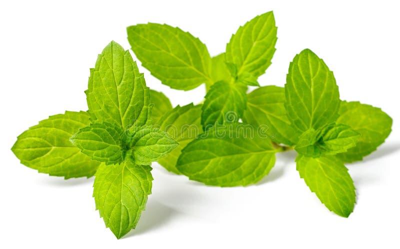 Świeży ziele, miętówka odizolowywająca na bielu fotografia stock