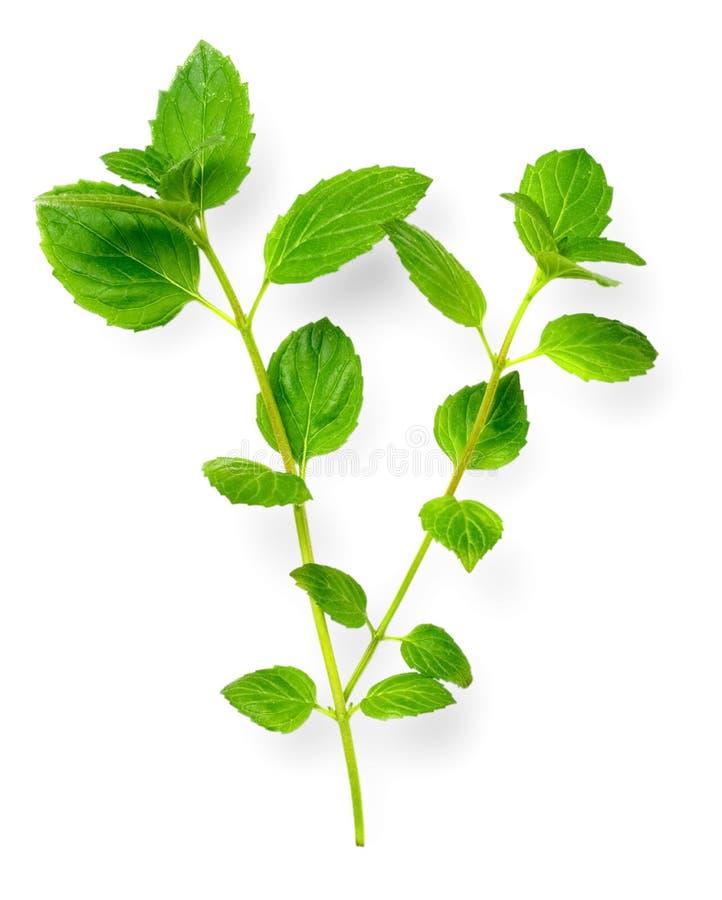 Świeży ziele, zielona miętówka odizolowywająca na bielu obraz stock