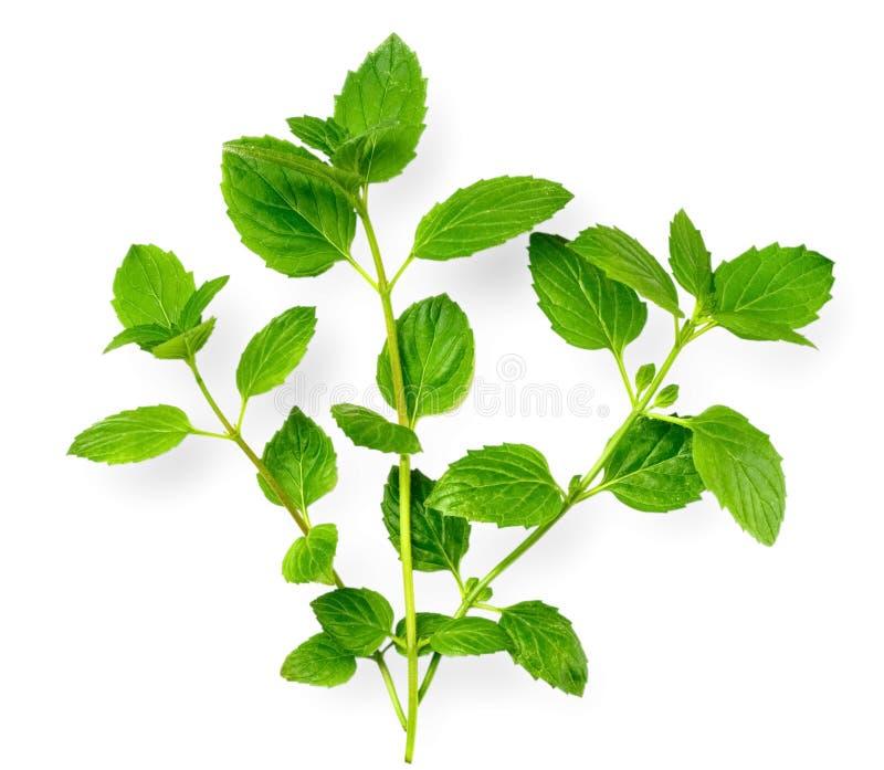 Świeży ziele, zielona miętówka odizolowywająca na bielu zdjęcie stock