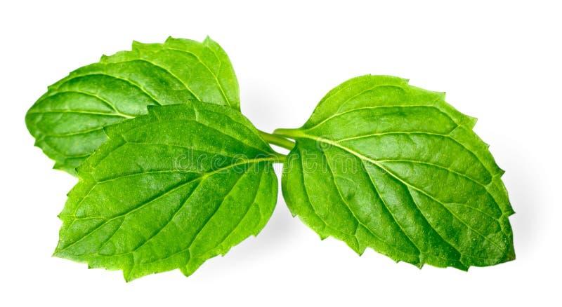 Świeży ziele, zielona miętówka odizolowywająca na bielu obrazy stock