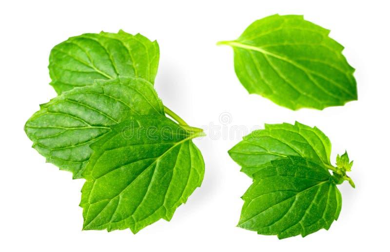 Świeży ziele, zielona miętówka odizolowywająca na bielu obraz royalty free