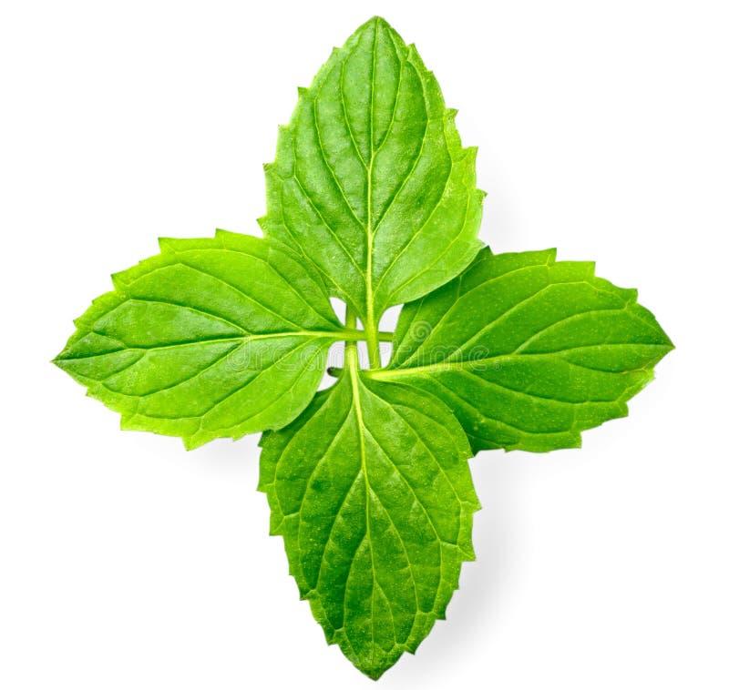 Świeży ziele, zielona miętówka odizolowywająca na bielu obrazy royalty free