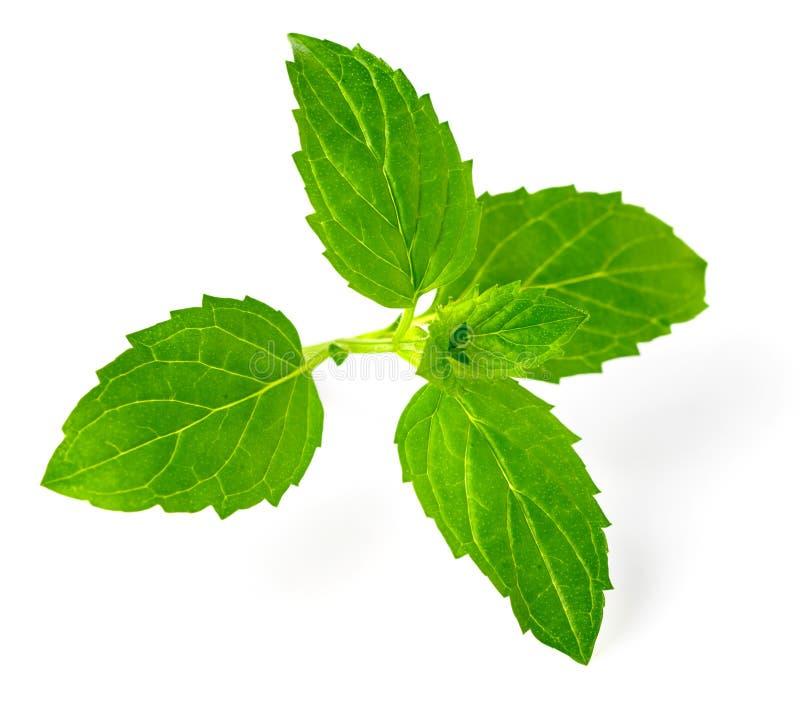 Świeży ziele, zielona miętówka odizolowywająca na bielu zdjęcia stock