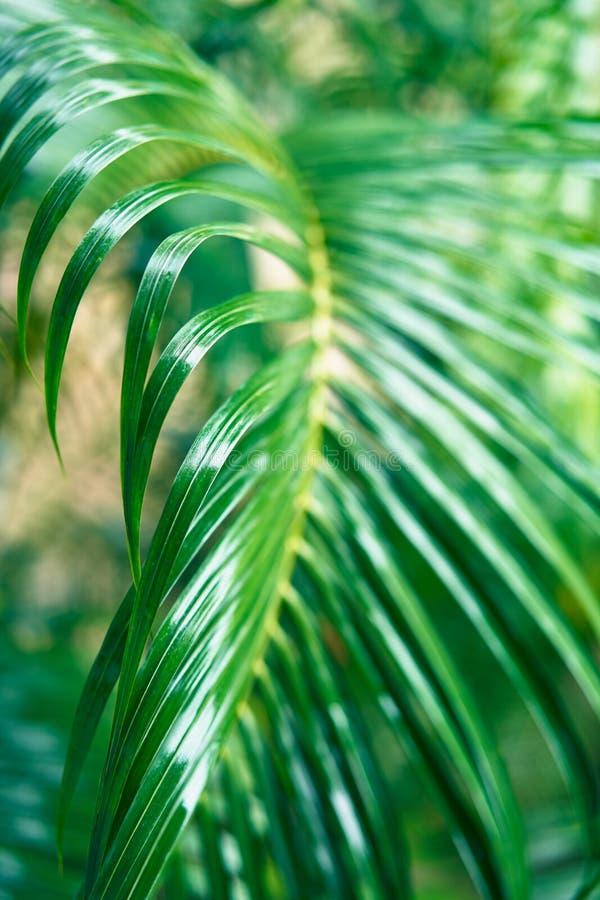 Świeży zielony drzewko palmowe liścia zbliżenia widok zdjęcia stock