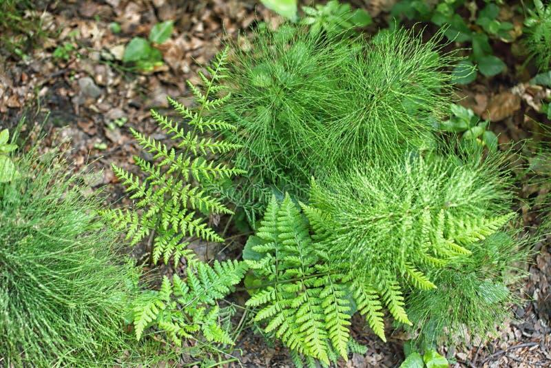 Świeży zielony Horsetail i paproć obraz stock