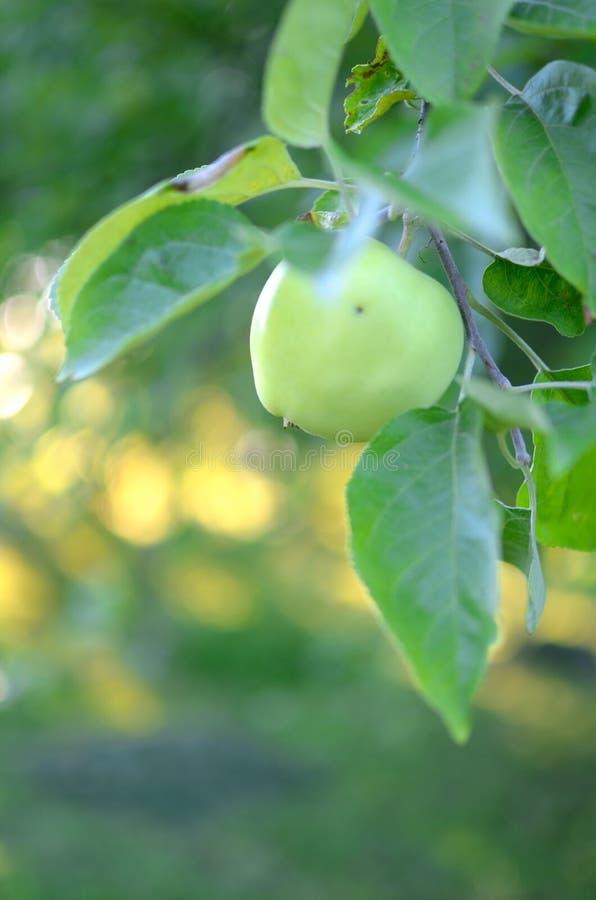 świeży zielony jabłko na drzewie zdjęcie stock