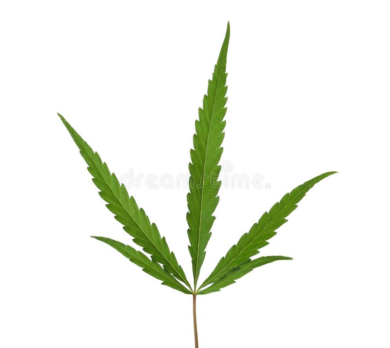 Świeży zielony konopiany liść obraz stock