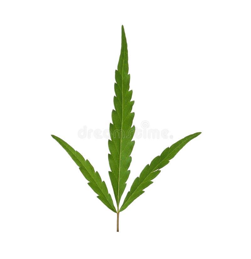 Świeży zielony konopiany liść fotografia stock