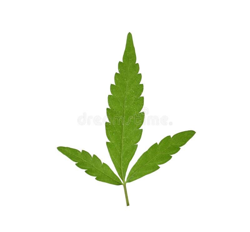 Świeży zielony konopiany liść zdjęcia royalty free