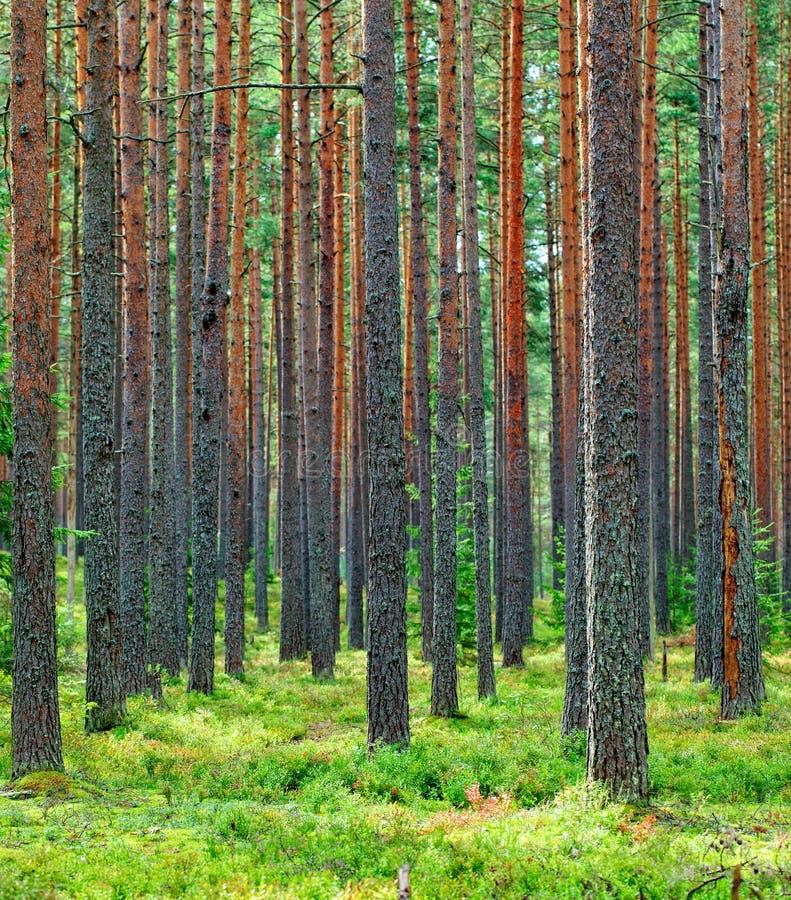 Świeży Zielony Sosnowy Lasowy tło obrazy royalty free