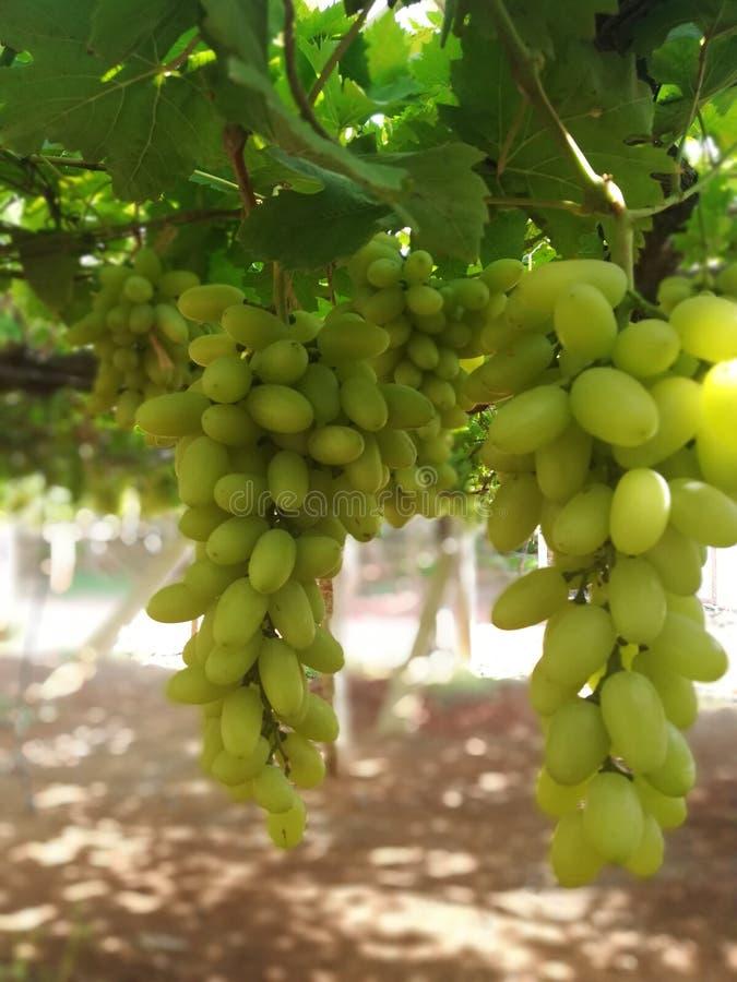 Świeży zielony winogrono ogród W ten sposób mięsisty i słodki fotografia royalty free