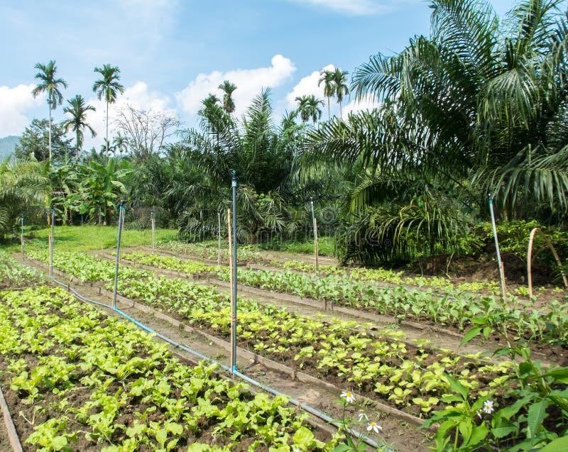 Świeżych Organicznie warzyw Rolny przyrost w podwórka ogródzie w wsi przygotowywającej robić Zdrowemu jedzeniu Tajlandia lubi Świ zdjęcia stock