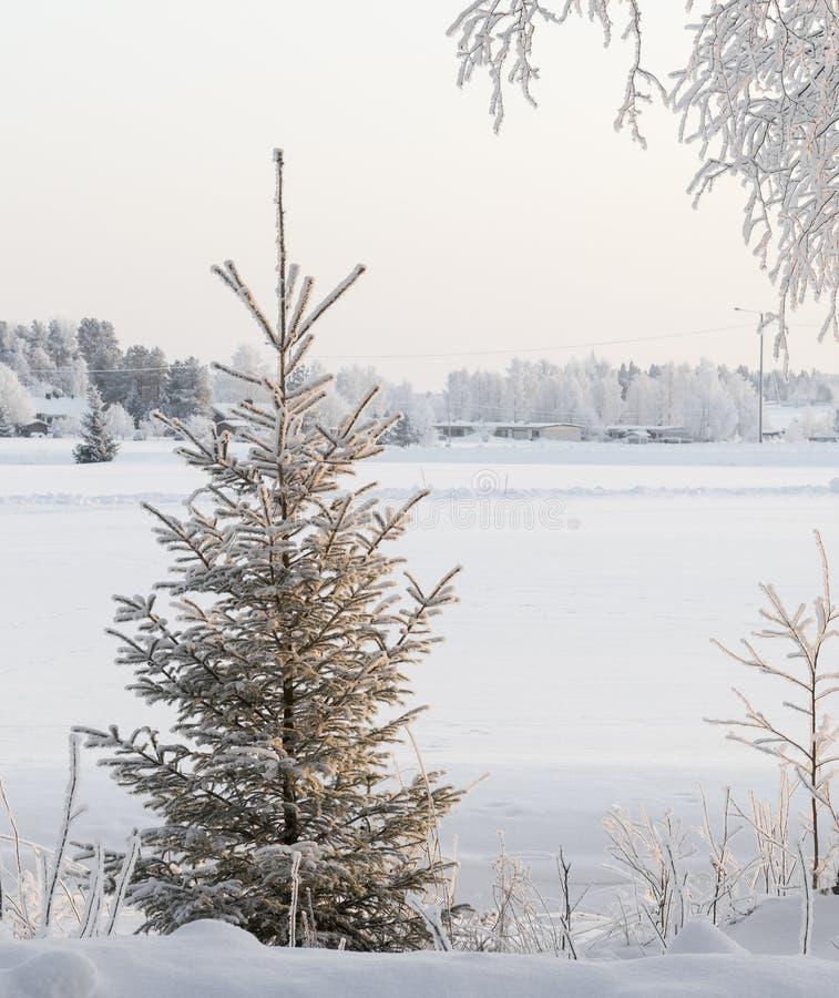 Świerczyna na pogodnym śnieżnym zima dniu fotografia royalty free