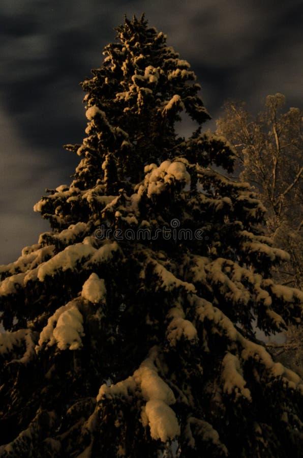 Świerczyna przy nocą fotografia stock