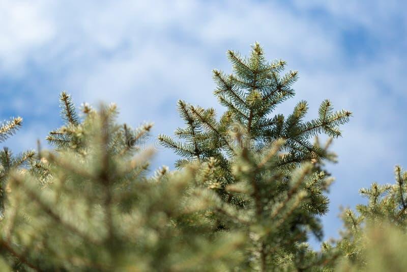Świerczyna rozgałęzia się przeciw niebieskiemu niebu w chmurach zdjęcie royalty free