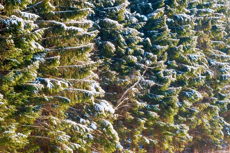 Świerczyna rozgałęzia się w iglastym lesie zakrywającym z śniegiem obrazy stock