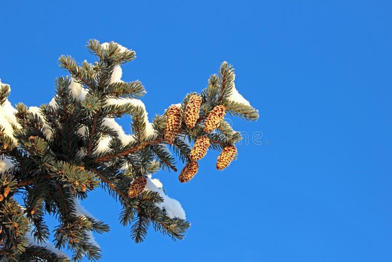 Download Świerczyna Rozgałęzia Się Z Rożkami Obraz Stock - Obraz złożonej z zima, conifers: 28970433