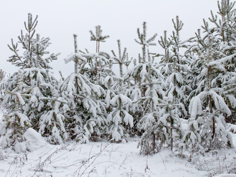 Świerczyna w śniegu fotografia royalty free