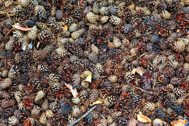 Świerczyna wpadać na siebie i igły kłamają na ziemi w jesień lasowym widoku od above Tło dla jesień nastroju obrazy royalty free