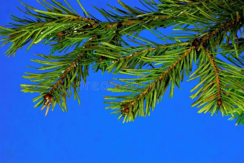 Świerczyny gałąź na niebieskiego nieba tle Świerkowy wiecznozielony iglasty drzewo na nowego roku wakacje, ubiera w górę zabawek zdjęcia stock