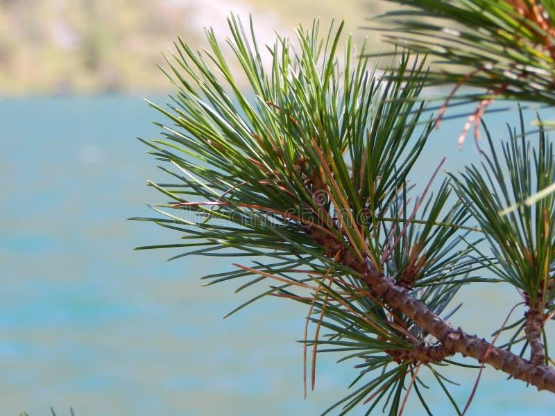 Świerczyny gałąź na tle halny jezioro fotografia royalty free