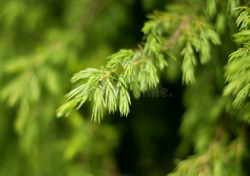 Świerczyny gałąź na zielonym tle zdjęcia stock