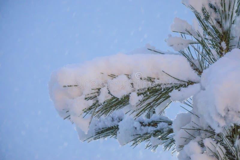 Świerczyny gałąź pod śniegiem z kroplami śnieg na igłach Nocy zamazany tło zdjęcia royalty free