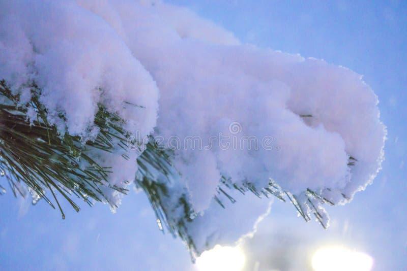 Świerczyny gałąź pod śniegiem z kroplami śnieg na igłach Nocy zamazany tło zdjęcie stock