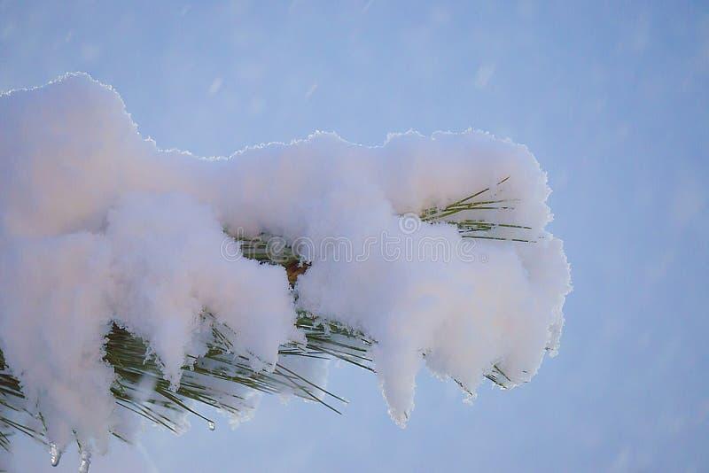 Świerczyny gałąź pod śniegiem z kroplami śnieg na igłach na nocy zamazywał tło obraz stock