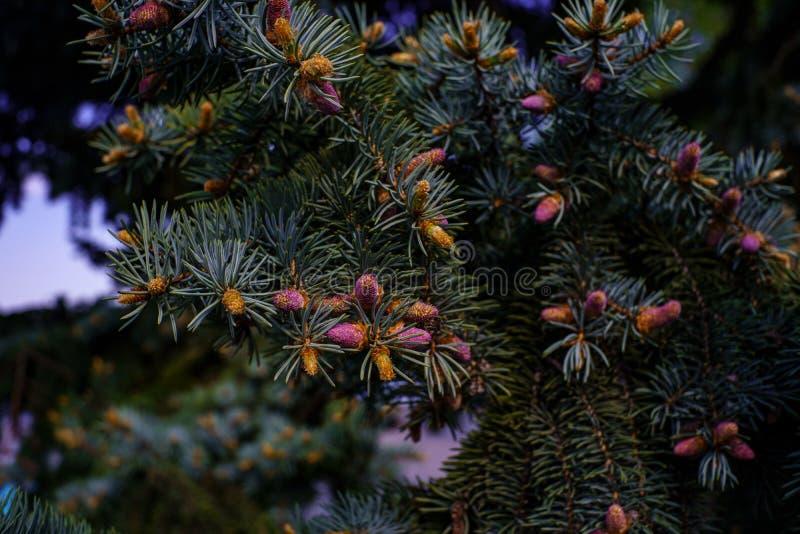 Świerczyny gałąź z formacją nowe gałązki i różowi mali potomstwa konusuje w wiośnie w lesie zdjęcie royalty free