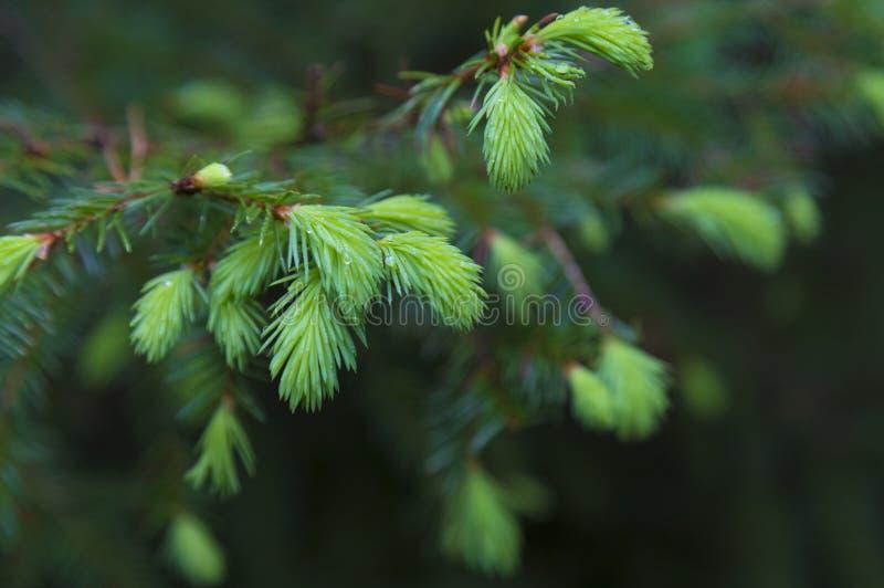 Świerk rozgałęziony ze świeżymi zielonymi igłami z kroplami rosy obraz royalty free