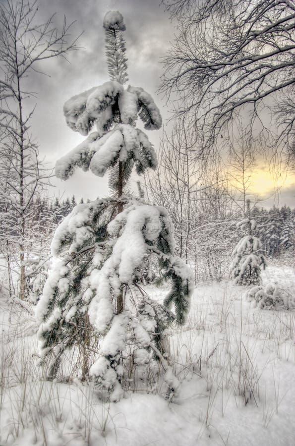 świerkowa zimy. zdjęcia royalty free