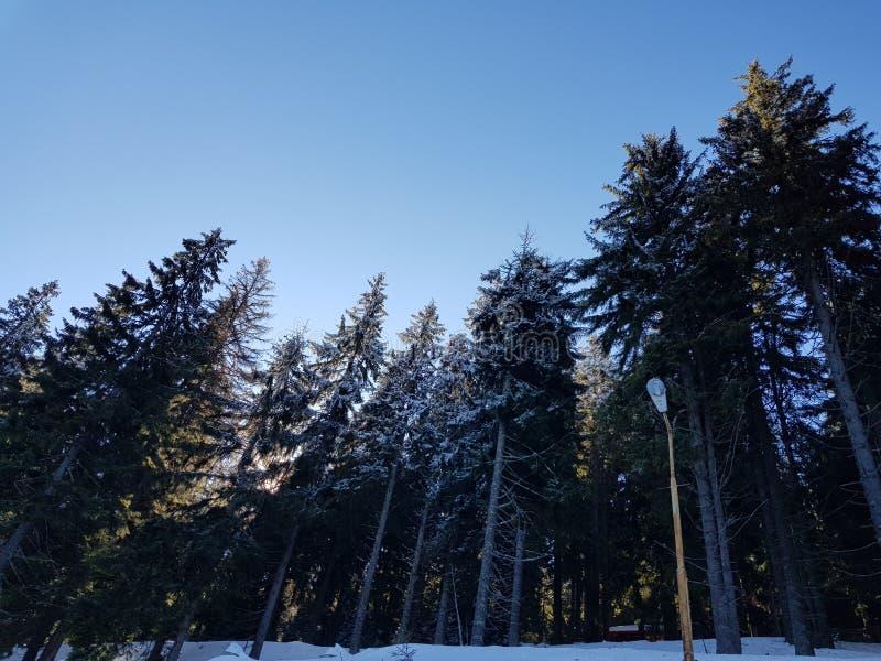 Świerkowi Drzewa fotografia stock